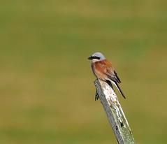 P1630307-Neuntöter- (Bine&Minka2007) Tags: singvogelart songbirds bird neuntöter vogel vögel vogelfotos wildlife wildvögel wald forest