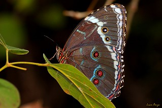 Commom blue morpho