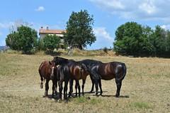 Cavalli (manuelfanciullacci) Tags: gr maremma cavalli italia italy italien toscana tuscany europa europe manuelfanciullacci nikond5100 turismo scansano campo