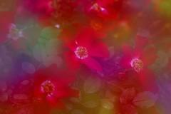 Soft roses ... (Julie Greg) Tags: flower nature soft fujifilmxt20 colours texture park garden