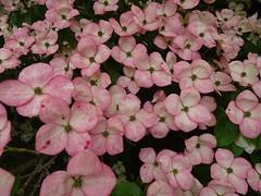 Cornus at Newby Hall (Kniphofia) Tags: cornus shrub pink bracts newbyhall