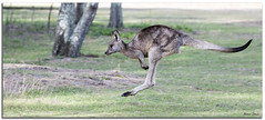 Kangaroo (Bear Dale) Tags: kangaroo mid hop ulladulla south coast new wales australia dale trees grass fur nikon d850 70200mm nature fotoworx beardale lakeconjola shoalhaven southcoast framed faune faunasilvestre photo photograph groups group flickr naturephotography