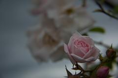 Hovander 0031 (Phil Rose) Tags: leaf flowers flora hovander park fragrance garden