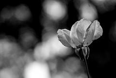Foto-Arô Ribeiro-5787 (Arô Ribeiro) Tags: pho blackwhitephotos photography laphotographie bnw bw blackandwhite blackandwhiteportrait nature flowers flores cemitériodaconsolação pretoebranco pb arte fineart nikond40x nikond7000 thebestofnikon nikon