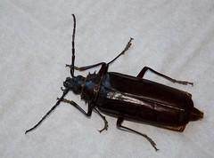 Rest Peacefully (harefoot1066) Tags: coleoptera polyphaga chrysomeloidea cerambycidae prioninae prionini derobrachus derobrachushovorei paloverderootborer