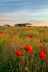 Photo of Yorkshire Poppies
