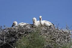 Camargue, famille Cigogne blanche à Pont-de-Gau (xav.vergon) Tags: camargue chantalbouteiller eté map oiseaux pontdegau réglageaf12 sortieornitho xaviervergon