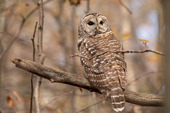 Barred Owl (NicoleW0000) Tags: owl barredowl bird birdofprey wild wildlife animal nature woods forest