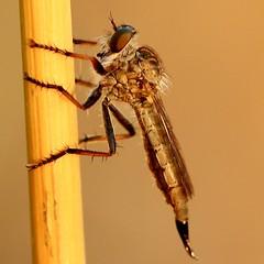 au soleil couchant... (BPM.Photography) Tags: insectmacro insect macrophotography macrophoto macrodreams macrocaptures nature nofilter sunset