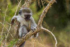 South_Arica_2018_37 (s4rgon) Tags: addoelephantnationalpark addoelephantpark animals gardenroute natur nature southafrica südafrika tiere vervetmeerkatze vervetmonkey ngc
