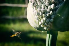 Syrphe & Leek (Costik alias Mario H.) Tags: select leek flower garden poireau fleur jardin syrphe