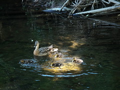 (turgidson) Tags: p1250348 panasonic lumix dmc g7 panasoniclumixdmcg7 panasonicg7 micro four thirds microfourthirds m43 g lumixg mirrorless x vario 35100mm 35100 f28 hhs35100 telephoto zoom lens panasonic35100 panasoniclumixgxvario35100mmf28 silkypix developer studio pro 7 silkypixdeveloperstudiopro7 raw bird duck duckings river dodder clonskeagh dublin ireland milltown valley linear park
