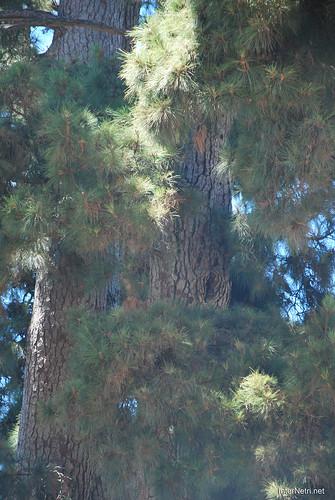 Найстаріша канарська сосна, Тенеріфе, Канари  InterNetri  04