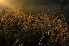 Natural spotlight (peeteninge) Tags: nature sunlight grass goldenhour natuur zonlicht grassen fujifilm fujifilmxt2 xf16mmf14