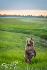 Just checking out... (Nedko Nedkov) Tags: alaska lakeclark brownbear cub mum wildlife