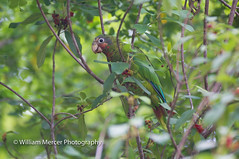 Color Coded (WilliamMercerPhotography) Tags: wild wildlife animal nature grand cayman parrot amazona leucocephala caymanensis grandcaymanparrotamazonaleucocephalacaymanensis