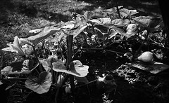 (Simon BOISVINET) Tags: photography aujardin blackandwhite acros fujifilm x100f vegetable garden