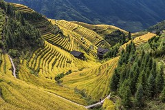 *Ping'an terraced rice fields* (Albert Wirtz @ Landscape and Nature Photography) Tags: albertwirtz terracedricefields terrassenfelder reisterrassen longsheng longshengcounty china ostasien eastasia pingan pinganterracedricefields yellow reis reisernte longji scenicarea guilincity guilin longhairpeople gunaxi paesaggi paysages campagne campagna campo landscape village sunny nikon d810 d810landscape heping wantian albertwirtzlandschaftsundnaturfotografie albertwirtzlandscapeandnaturephotography albertwirtzphotography paisaje guangxizhuangautonomousregion