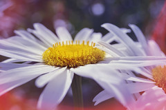 we'll be friends forever... (C-Smooth) Tags: friends forever daisies flowers macronature