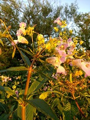 Photo of Himalayan Balsam