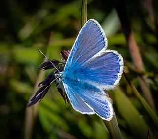 Blue Moth , Orkney