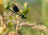 Banded Demoiselle (SarahW66) Tags: bandeddemoiselle damselfly damoisellemale insect insectonplant insectphotography macro macrophotography macrolens macroinsect sigma105mm sigmamacro canon80d canon nature naturephotography naturalbokeh