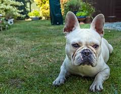Albi the French Bulldog (Fujifilm X100F Trans-X Fixed Lens Compact) (1 of 1) (markdbaynham) Tags: fuji fujifilm fujiuk dog canine pet cute bulldog frenchbulldog fujista fujix transx apsc fixedlens fujinon prime primelens x100f fujix100f compact albi