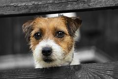 Doggo 🐕🐶 (Lens_Blog) Tags: jack russell terrier doggo animal art nature portrait blackandwhite