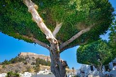 Lindos (alfsan) Tags: albero acropoli case houses acropolis tree