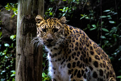 The Stare (_Lionel_08) Tags: zoo leopard cat big spots patterns color tree animal fur jaguar