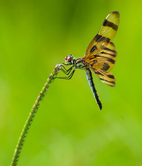 Halloween Pennant Dragonfly (Beth Reynolds) Tags: dragonfly pennant nature closeup insect flight bug florida swamp apopka wild