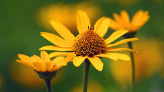 Flowers, Hartley Nature Center - Duluth MN USA, 07/19/18 (TonyM1956) Tags: elements tonymitchell minnesota nature stlouiscounty hartleynaturecenter duluth sonyalphadslr macrounlimited sonyphotographing