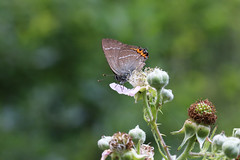 white letter hairstreak (andy_porter69) Tags: whiteletterhairstreak white letter hairstreak butterfly