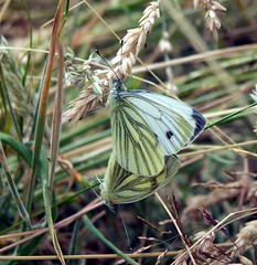 Green-veined White (ERIK THE CAT Struggling to keep up) Tags: lepidoptera butterflies blithfield staffordshire ngc