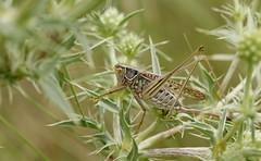 Gampsocleis glabra f. 4800 (Henrik Gyurkovics) Tags: gampsocleisglabra gampsocleis tettigoniidae steppespinybushcricket bácsborista kelebia hungary