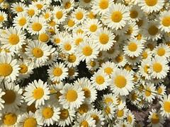 A carpet of blooms (markshephard800) Tags: daisies flowers fleurs fiori blumen bloemen flores flora garden jardim jardin garten tuin giardino