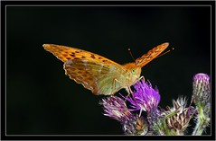 SILVER WASHED FRITILLARY { nectaring on knapweed } (PHOTOGRAPHY STARTS WITH P.H.) Tags: nikon alners gorse dorset silver washed fritillary ring flash sigma 150mm macro