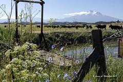 062818 Mt Shasta (wildcatlou) Tags: california landscape nature mountain summer june mtshasta flora cattle shadows flowers wildflowers blue