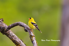 IMG_0441 (nitinpatel2) Tags: bird nature nitinpatel