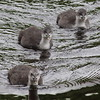 Coot chicks (Niall McAuley) Tags: coot chick athlone river shannon