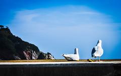 Seagulls Together (Cris Pineda) Tags: seagulls animals birds sea bay water torquay torbay devon southwest england britain summer