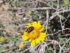 díszbogár sivatagi napraforgón / beetle on desert sunflower (debreczeniemoke) Tags: unitedstatesofamerica amerikaiegyesültállamok usa unitedstates egyesültállamok us america nevada bluediamond censusdesignatedplace cdp clarkcounty cottonwoodspring ojodecayetana pearlspring landmineloop sivatag desert sivataginapraforgó desertsunflower hairydesertsunflower desertgold geraeacanescens őszirózsafélék fészkesek asteraceae növény plant virág flower rovar insect insecta beetle díszbogár bupestris acmaeodera buprestidae olympusem5