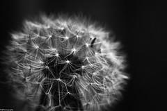 dandelion (fhenkemeyer) Tags: macro bw dandelion nature