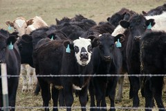 In Pasture (Cagey898) Tags: cow cows wire farm dirt black milk beef skull face