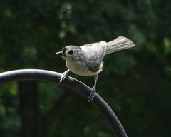 A Tufted Titmouse Waits A Turn to Feed | On Our Front Yard Bird Feeders (steveartist) Tags: tuftedtitmouse smallbirds birdfeeder bokeh sonydscwx220 snapseed stevefrenkel