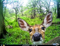 Hello....anybody in there? (Melinda G Pix) Tags: whitetail deer nature trailcam cuddeback