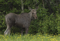 Moose -  The better part of valour (Ann and Chris) Tags: moose norway forest nature wildlife wild canon7dmarkii roadside