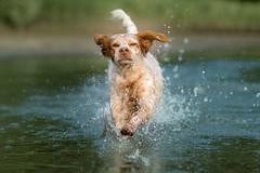 Splash (colorgraVie) Tags: bokeh bretone englischersetter hund nikonafsnikkor85mm118g nikond7200 pointer rhein tier wasser brittany englishsetter dog rhine animal water bokehlicious