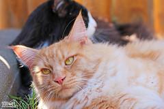 Cliff and Igor (morbidtibor) Tags: cat cats kat katten poes poezen kitten pussycat maincoone norwegianforestcat