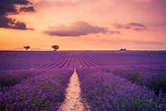 Lines to Follow (icemanphotos) Tags: field summerflowers provence lavender magical mood solitude canon